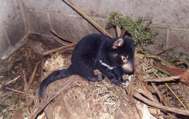 Junger Tasmanischer Teufel