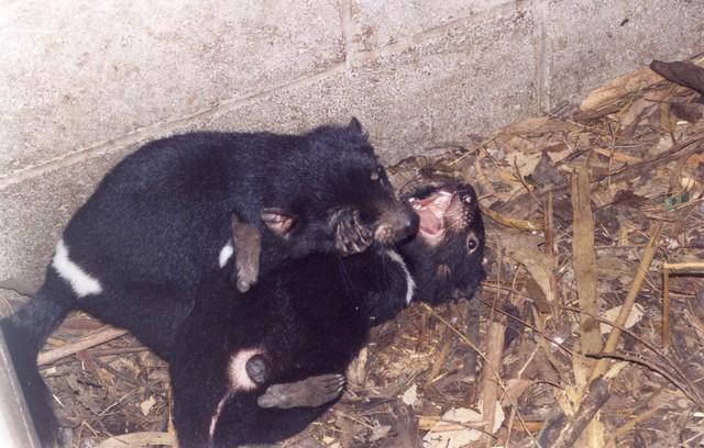 Junge Tasmanische Teufel